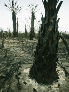 Palm Tree Trunks Rise Out of an Area Scorched by Fire